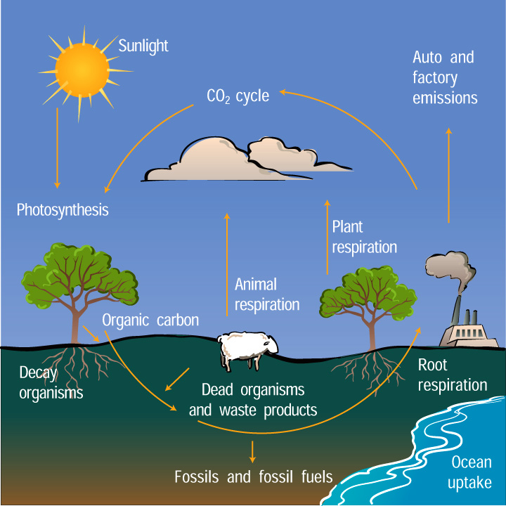 Igcse biology 49 describe the stages in the carbon cycle 49 describe the stages in the carbon cycle including respiration photosynthesis decomposition and combustion ccuart Image collections