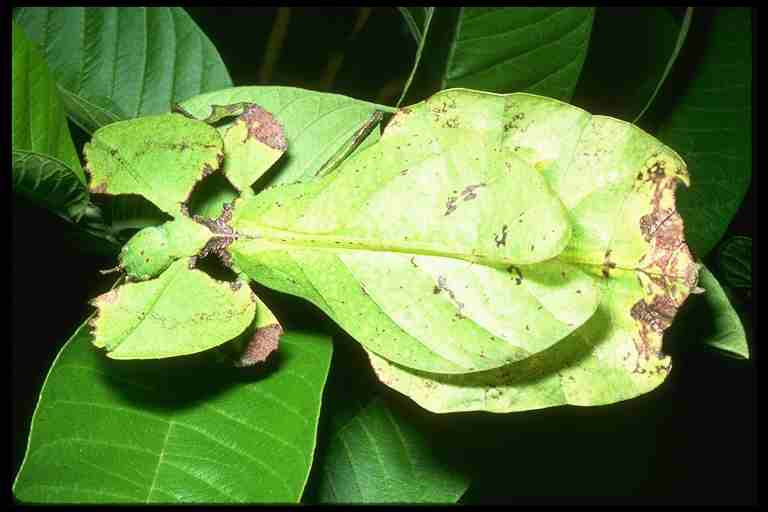 leaf_insect.jpg