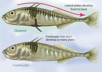 stickleback evolution Which of the following is an explanation for why the stickleback is a model organism for studying evolution stickleback populations have evolved recently and repeatedly in postglacial lakes researchers have identified some of the genetic mechanisms involved in the evolution of stickleback populations.